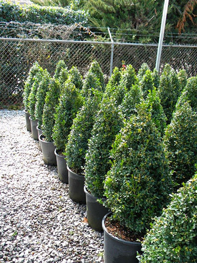 BUXUS CONE 21 and 24